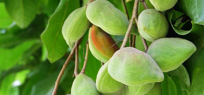 Kakadu Plum fruit